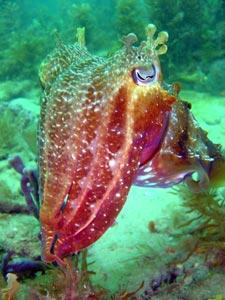 cuttlefish2.jpg -